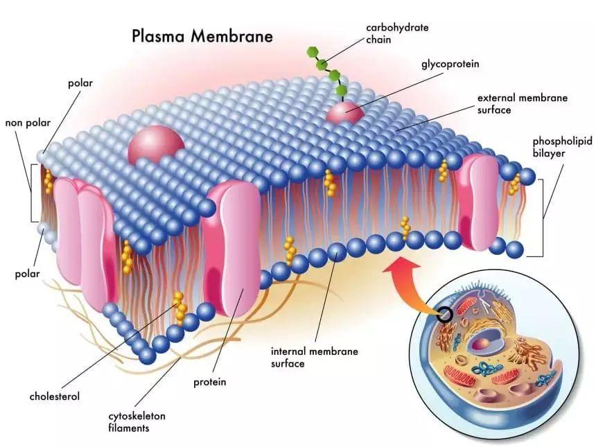 《自然》:爱舔油的癌细胞!竟利用皮脂脂肪酸为原料合成细胞膜