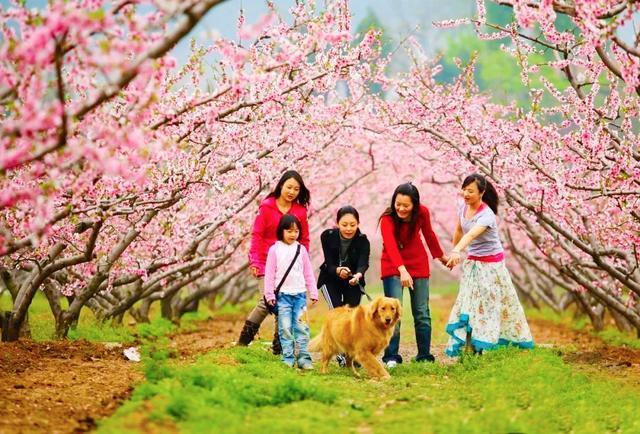 平谷桃花节开幕了,16年来开花最早,这个周末约起来
