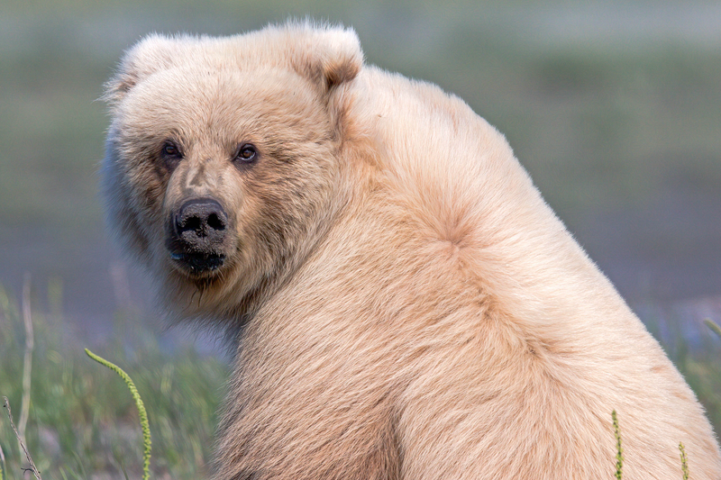 罕见金毛灰熊镜头前上演美丽回眸 pose满分!(图2)