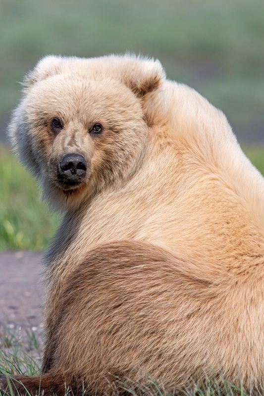罕见金毛灰熊镜头前上演美丽回眸 pose满分!(图4)