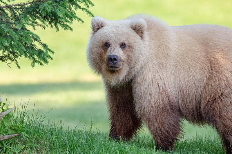 罕见金毛灰熊镜头前上演美丽回眸 pose满分!