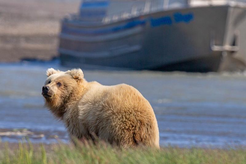 罕见金毛灰熊镜头前上演美丽回眸 pose满分!(图3)