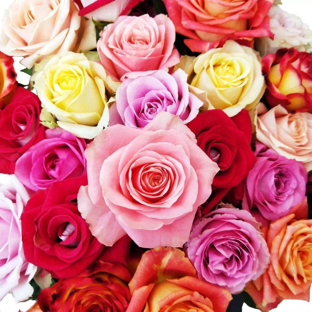 <b>本周特惠 | 实验品种单头玫瑰 每枝只售1.5元!备受追捧,不负众望</b>