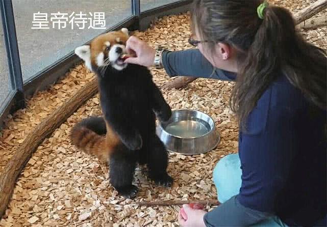 """""""小熊貓""""和""""小浣熊""""傻傻分不清?功夫熊貓阿寶的師傅都生氣了_那只"""