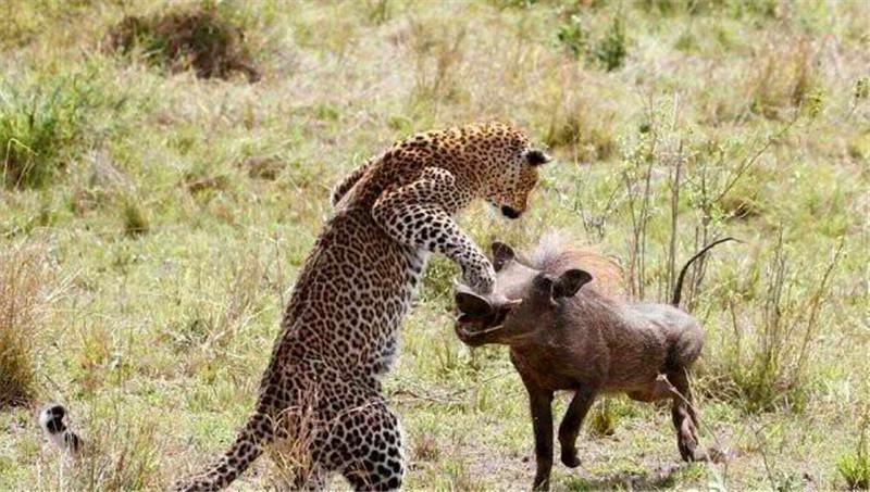 花豹撞上疣猪,疣猪大胆挑衅,结果花豹这反应疣猪傻了眼!