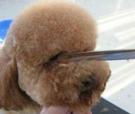 给泰迪狗修毛视频_泰迪犬泪痕严重怎么办?_眼睛