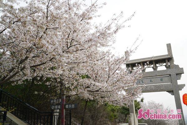滨州樱花山 神秘东方美的晚樱与数万游人亲密接触
