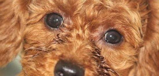 泰迪犬淚痕嚴重怎么辦?_眼睛