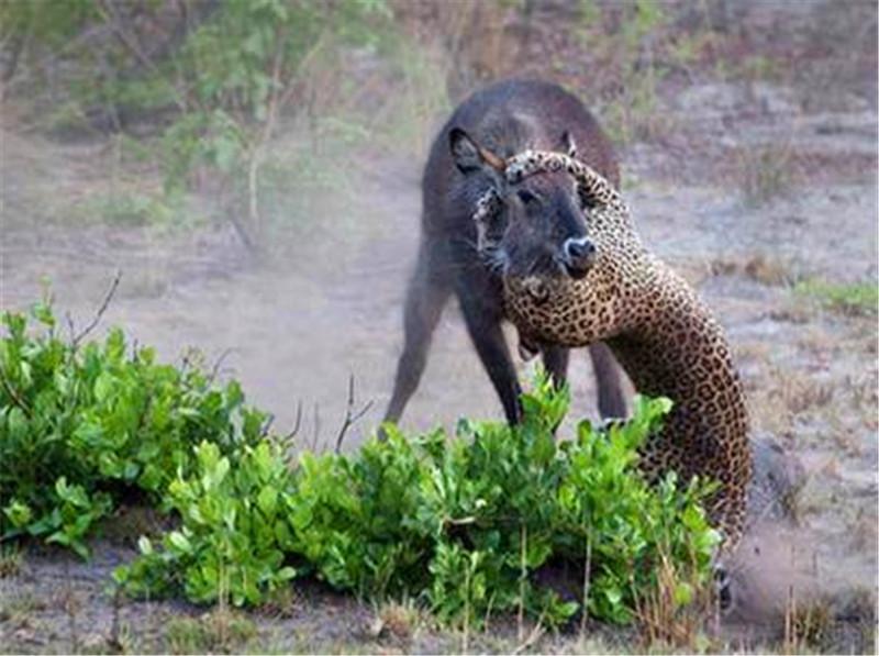 花豹捕食黑斑羚,不料最后这结局,开挂的黑斑羚厉害了!