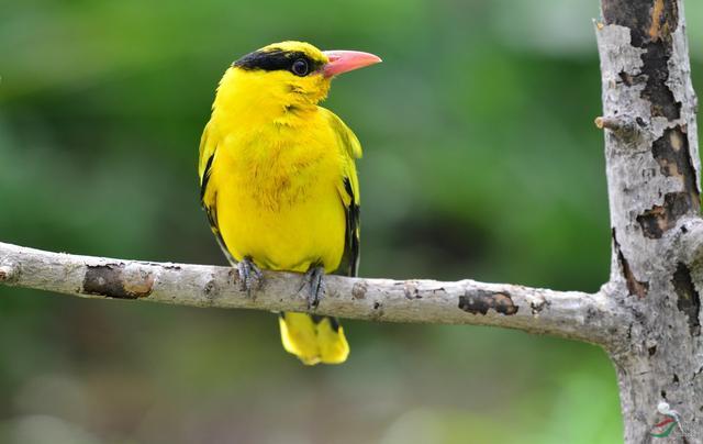 每逢春暖花开日,正是黄鹂入诗时
