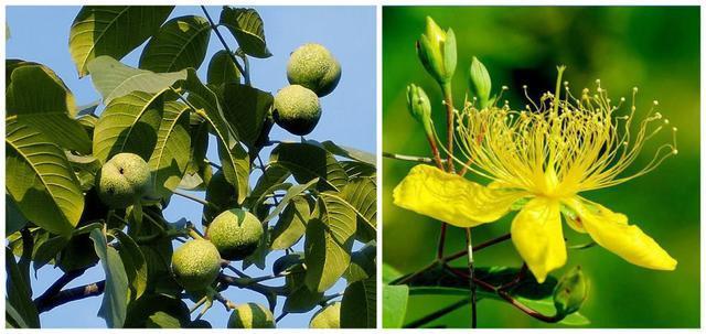 商洛市树市花正式确定:市树为核桃市花为连翘