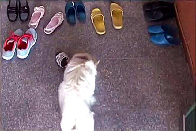 狗狗总是偷偷藏起主人的鞋子,原本要发脾气,得知用意后让人心酸_南南