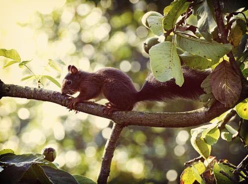 松鼠为害核桃树怎么办 可以试试这些奇思妙想的办法图片