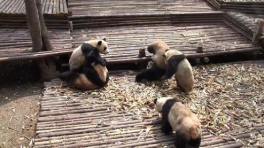 熊猫宝宝打架骨折,屁股被剃光了毛光秃秃的,熊猫:我不要面子啊