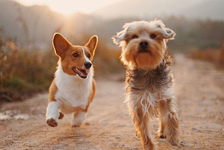 【图】杜宾犬的喂养知识全面介绍 教你几招让你养狗不烦恼_杜...