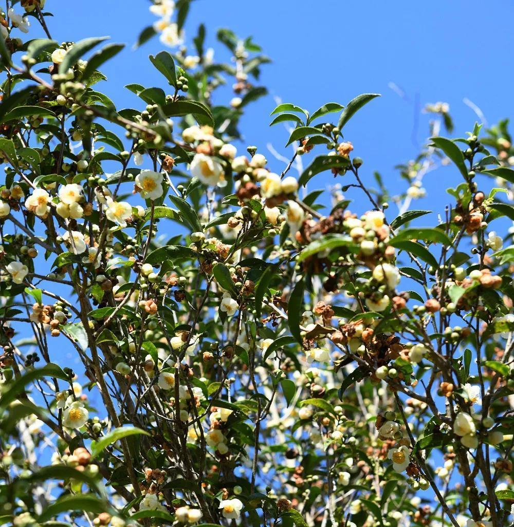 走进茶树花的神奇世界