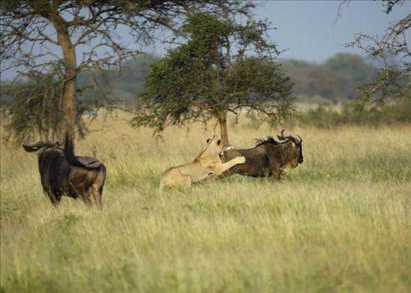 母狮学非洲二哥掏肛角马,吃到最后突然大笑起来,这是咋了?脑子吃坏了?