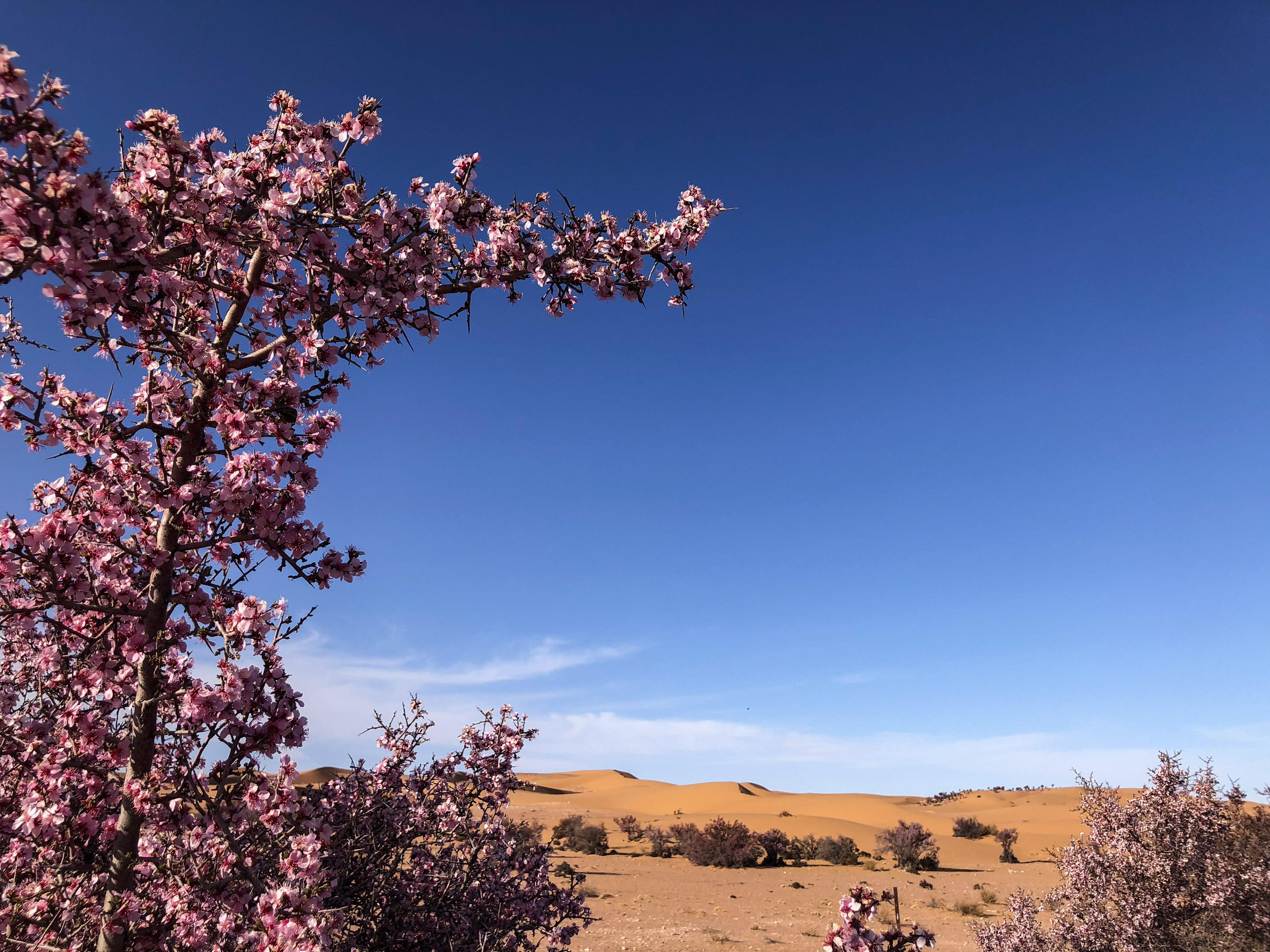 沙漠之花——蒙古扁桃迎来盛花期