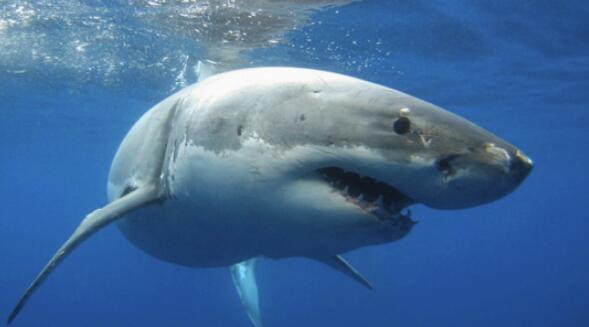 南非民众齐力救助大白鲨 成功将其送回大海