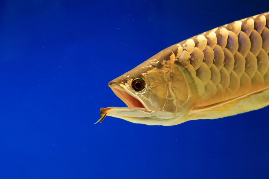 养龙鱼风水 关于金龙鱼风水