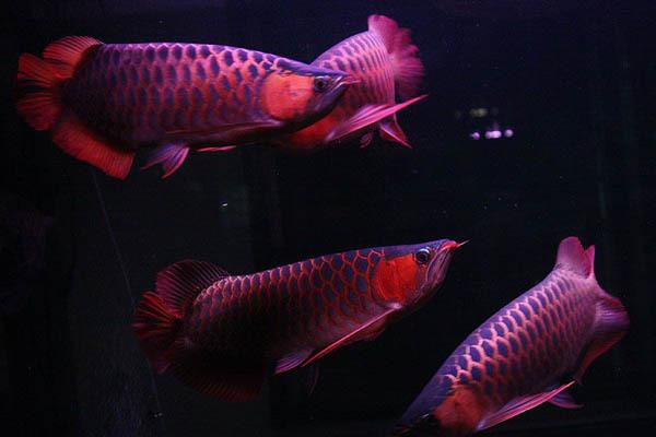 养龙鱼风水 关于金龙鱼风水 南昌水族批发市场 南昌龙鱼第4张