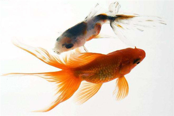在池塘里面的鲫鱼会繁殖吗_草鱼人工繁殖技术_银鲫鱼和黄金鲫鱼