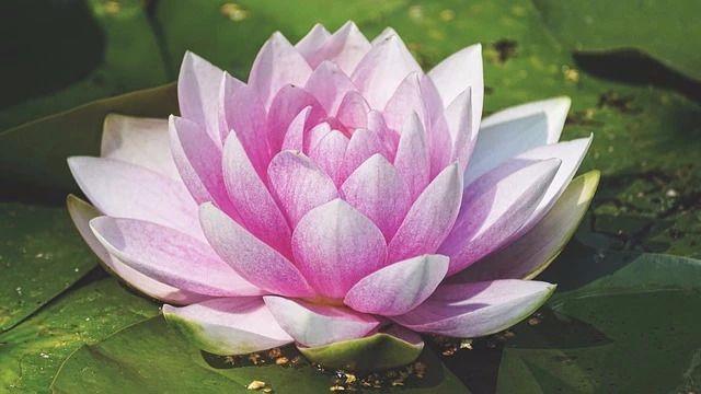 池塘睡莲开花图片图片