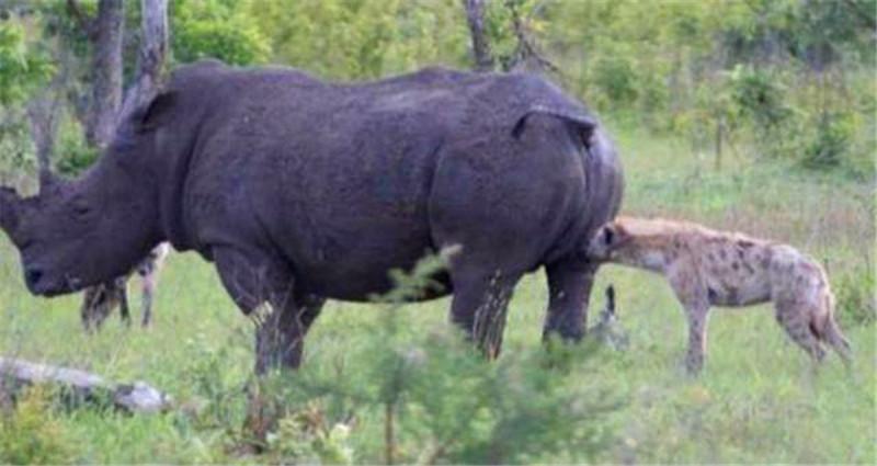 鬣狗盯上犀牛,结果进行掏肛的时候尴尬了,脖子感觉要断了