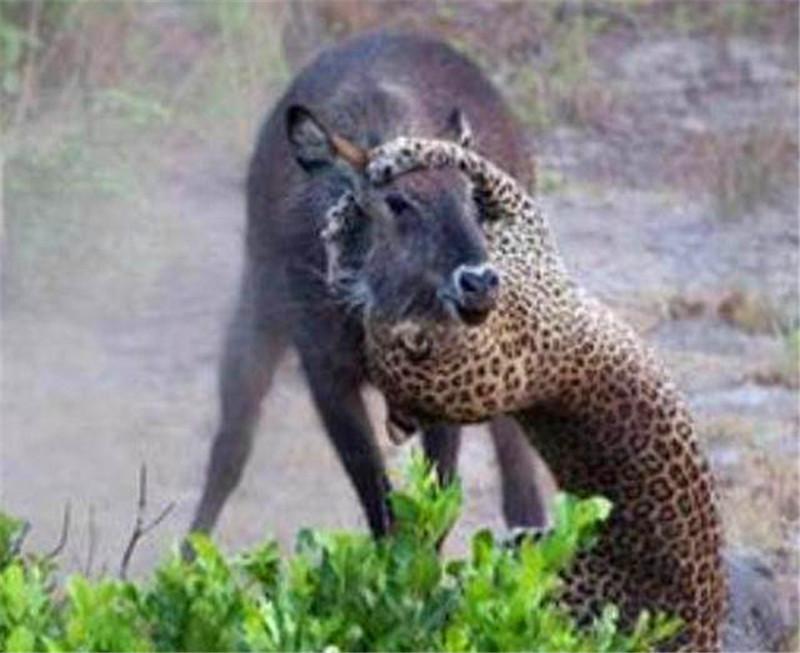 饥饿的花豹看见牛羚使出大招,牛羚的反击却让花豹措手不及