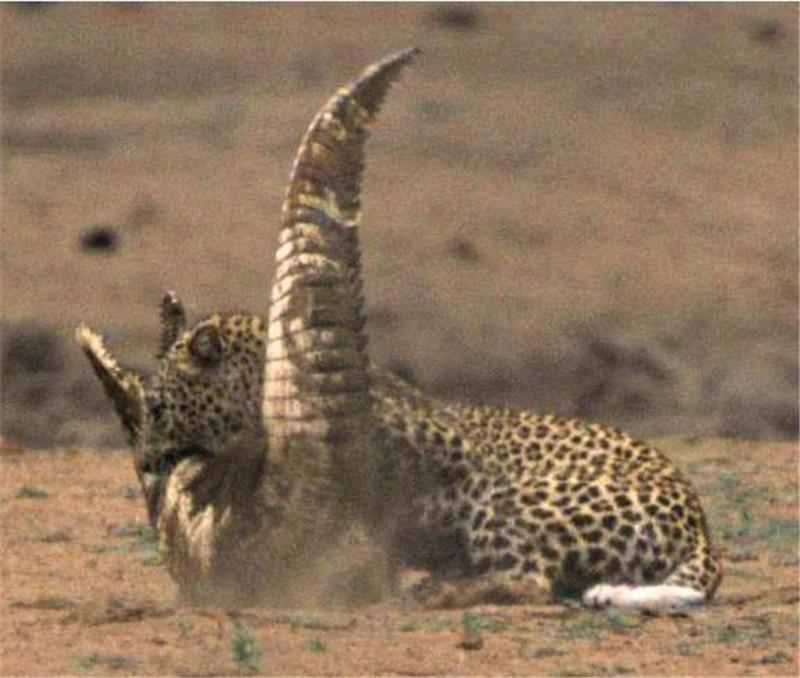 <b>正在休息的鳄鱼被花豹偷袭,王者间的对决,结局让人傻了眼</b>