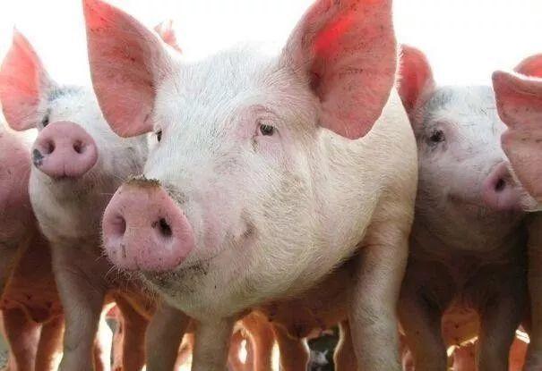 2000头育肥猪场设计图