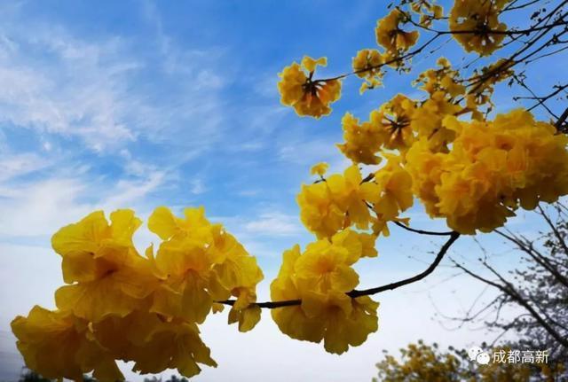 高新東區珍藏的黃風鈴花海,1.5小時就可打卡_成都