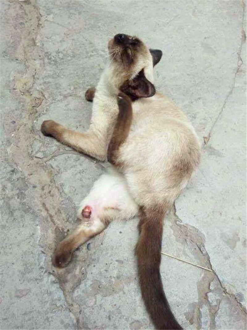 路人看见猫咪在马路上呻吟,走进一看愣住了,立马带去医院