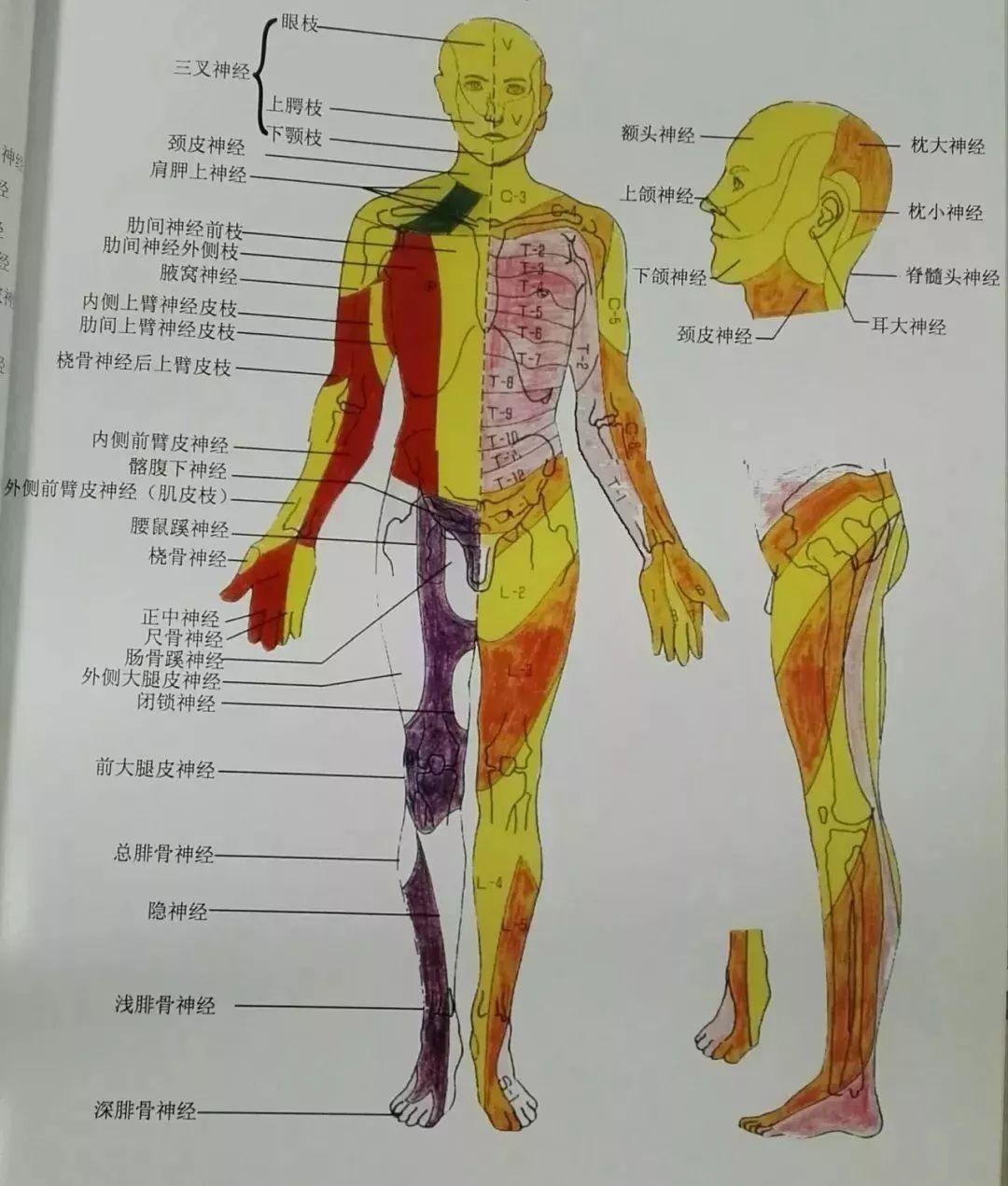 脊柱神经根支配分布图
