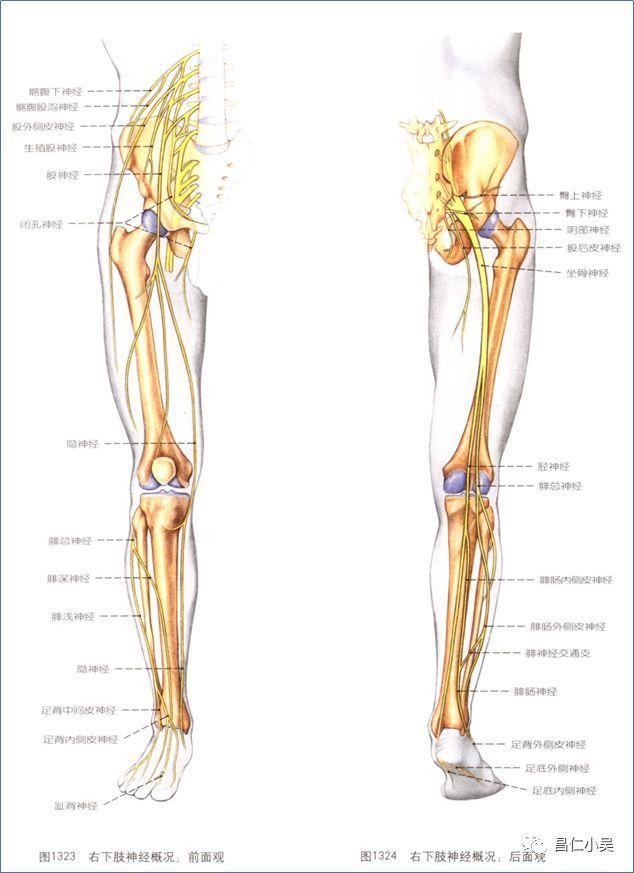 大腿神经分布图_神经解剖学习笔记:脊髓和及神经解剖_体节