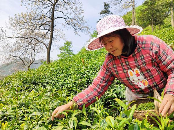"""河南信阳毛尖采摘遭遇用工荒""""三分之一的茶叶产量被浪费"""""""