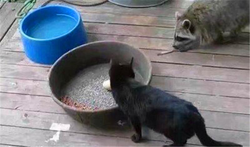 主人收养了只小浣熊,结果每天干这事,家里的猫咪遭殃了!