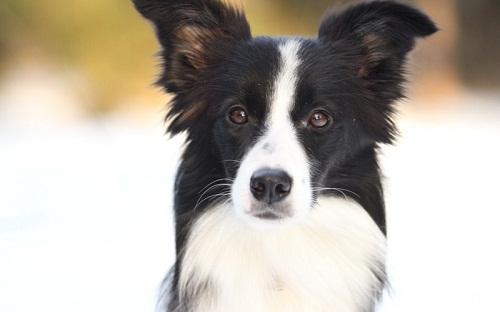 牧羊犬有关节炎是正常的吗,牧羊犬的关节炎吃什么