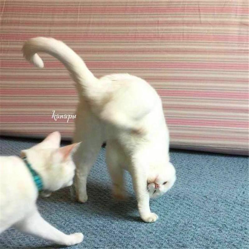 家里的猫咪大打出手主人这反应!网友:这才是真正的功夫猫