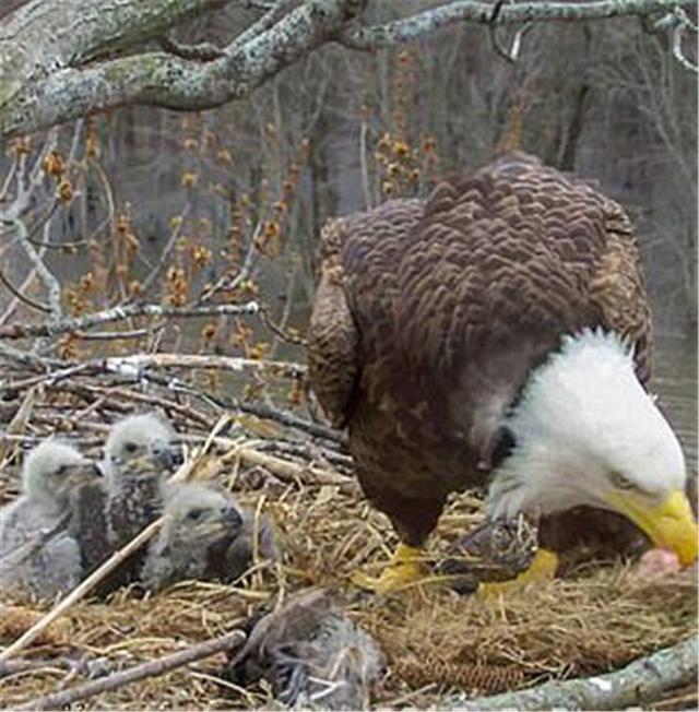 原创 美国密西西比河畔三重奏,两只雄秃头鹰和一只雌秃头鹰和谐生活