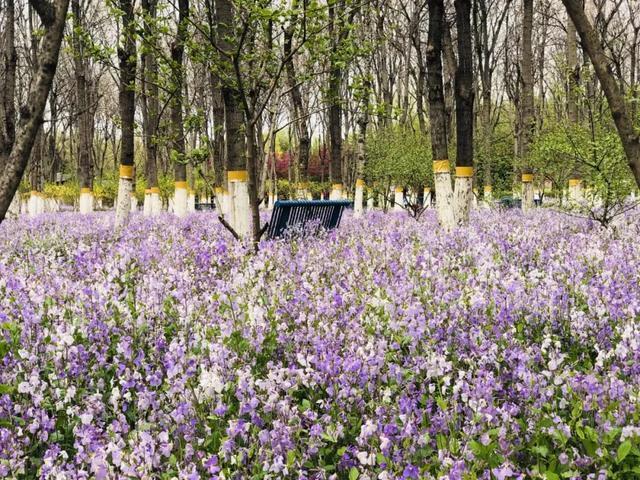 近300000m2的迷人紫色花海都藏在北京这个免费公园里!