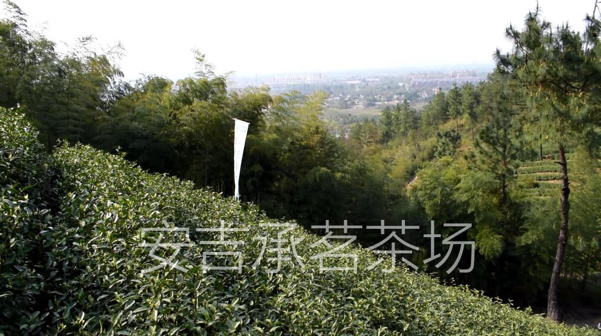 【安吉承茗茶场】:承匠心,传茗香,听说你想喝到正宗安吉白茶?