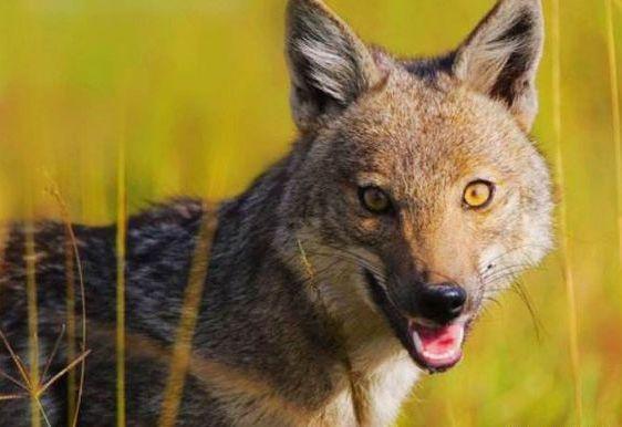 秦岭野生动物保护—豺、黑熊、石貂