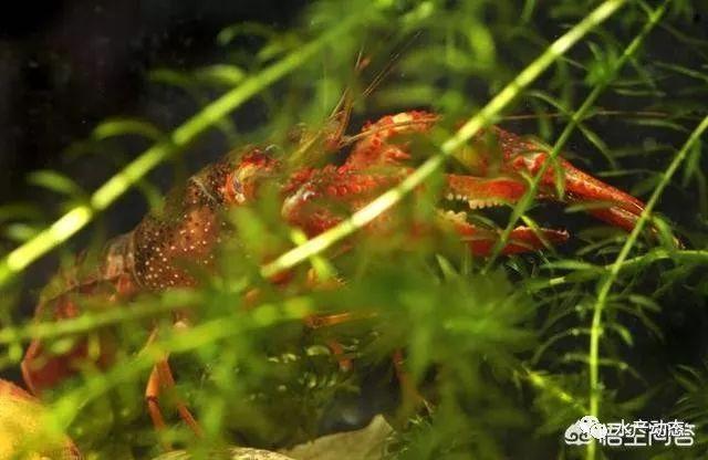 龙虾螃蟹养殖_螃蟹和龙虾混养技术_龙虾套养大闸蟹可以吗