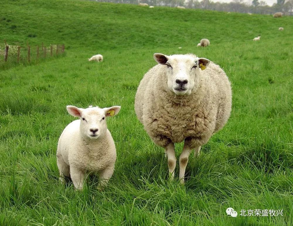 提高肉羊生产经济效益的方法措施 荣盛牧兴饲料养殖服务