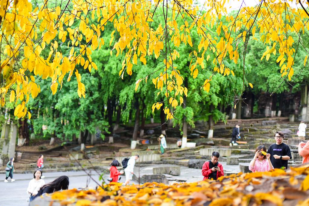 明明是春天,重庆街头却黄叶成堆如同秋天,你知道为什么吗?