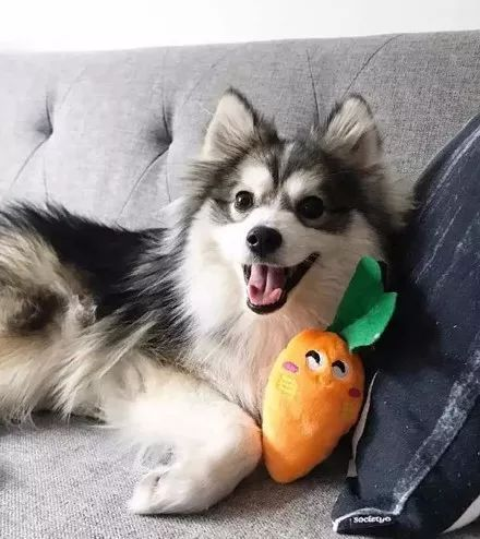 哈士奇和博美恋爱,于是就有了这只狗,美翻了!