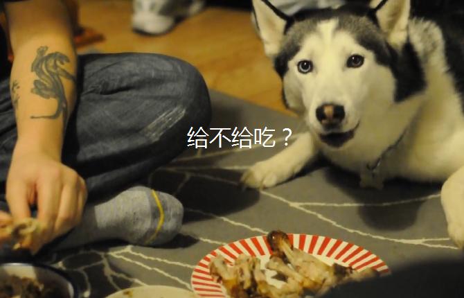 主人给二哈做鸡肉饭,结果它却等不及,狗:到底给不给吃啊