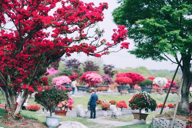 错过了无锡的樱花,就不要再错过这里的杜鹃花海,此时已是盛放期