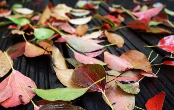 春天的崇明,为啥有那么多落叶?
